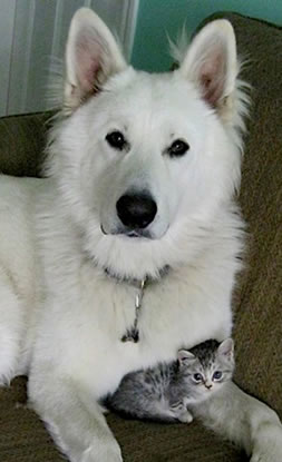 Berger Blanc Suisse Amp White Shepherd Dogs Dances With