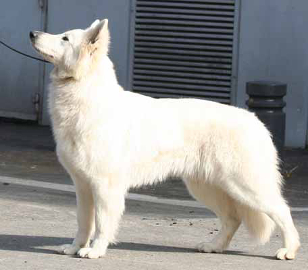 Alaska white german shepherd beautiful