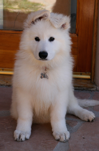Ice 12weeks white shepherd