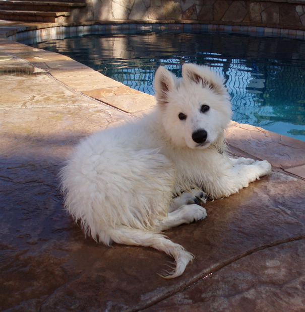 Ice berger blanc suisse 12weeks