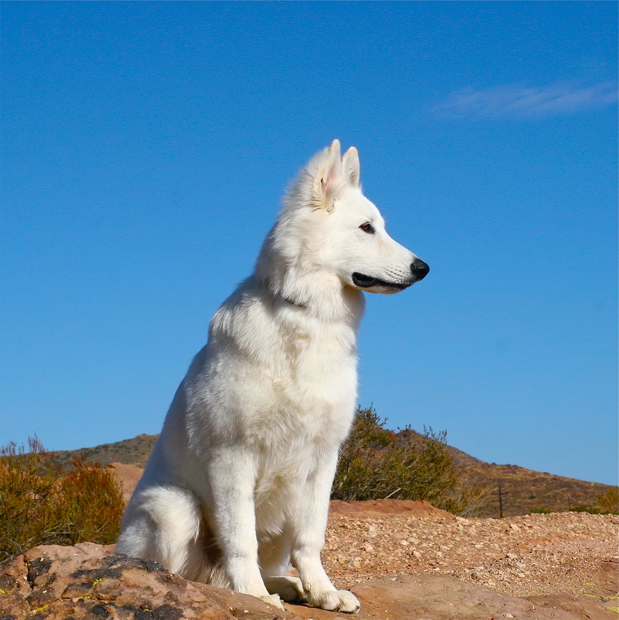 Ice berger blanc suisse 6months
