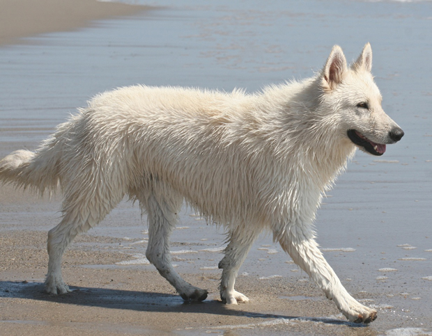 Ice berger blanc suisse beachwalking
