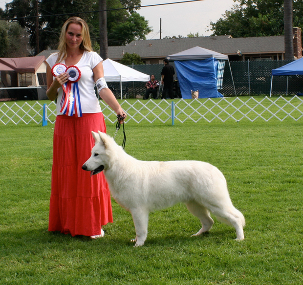Ice white german shepherd UKC BOB