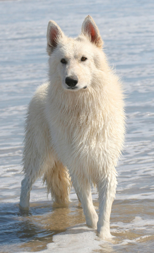 Ice white german shepherd achievements