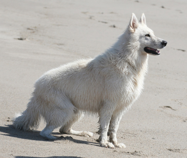 Ice white german shepherd beachwalking