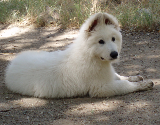 Ice white shepherd 12 weeks