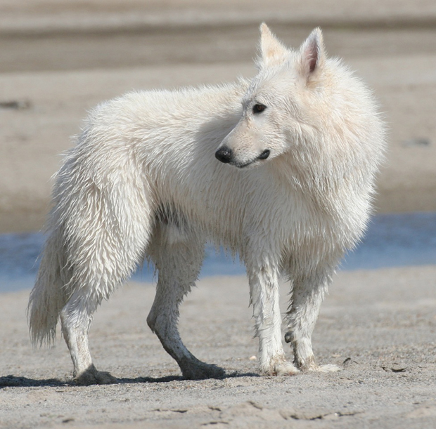 Ice white shepherd beach