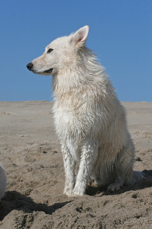 Ice white shepherd