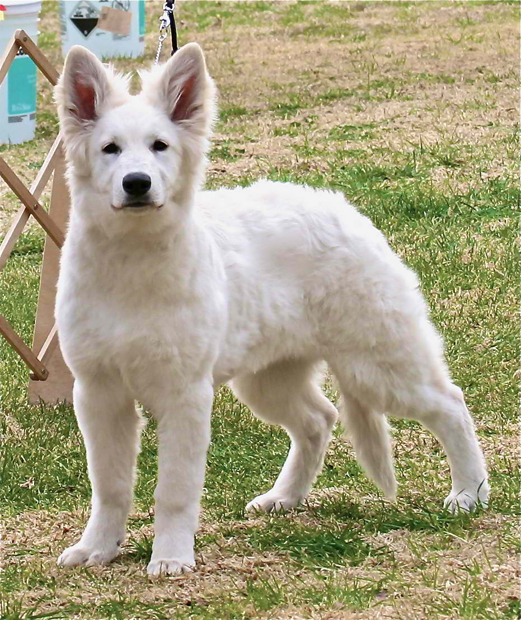 Noel berger blanc suisse leash
