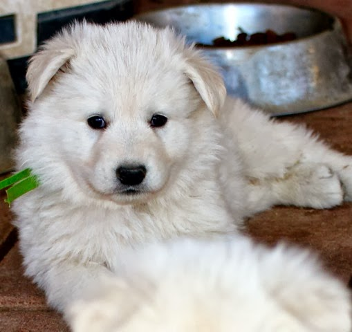 Spring 2014 Berger Blanc Suisse puppy