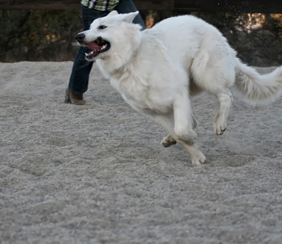 dww young adult berger blanc suisse 2