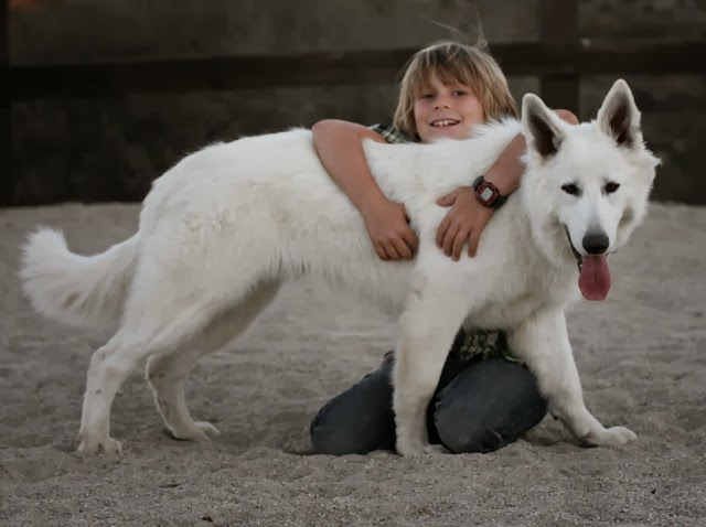 dww young adult white shepherd 1