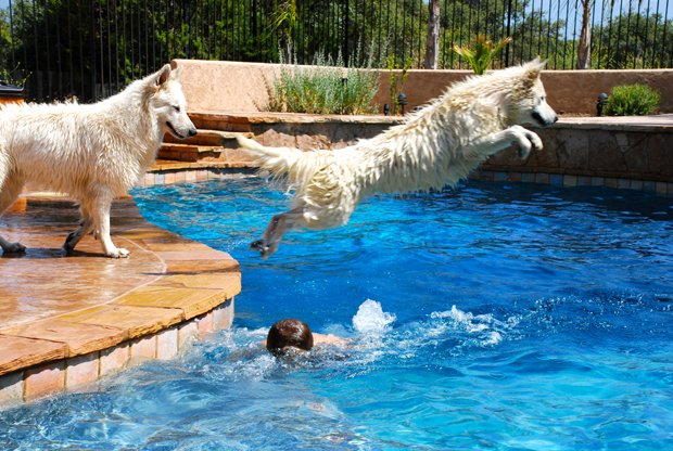 dww young adults white german shepherd 3