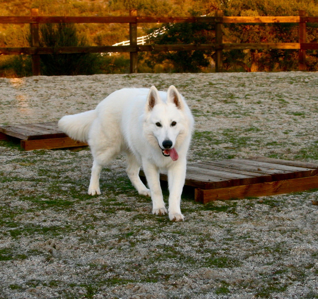 ice white german shepherd 10months