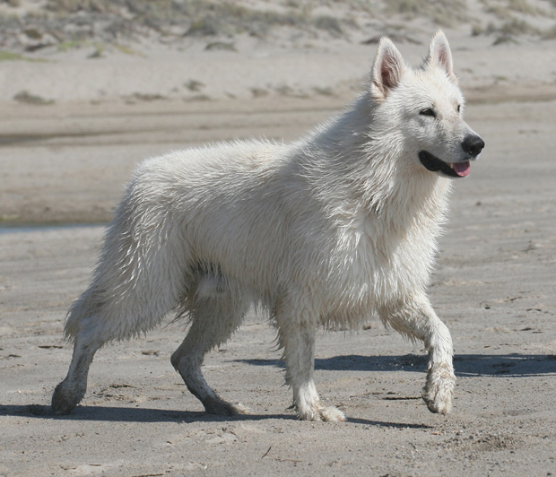 ice white german shepherd beach